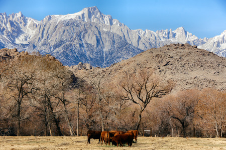 Mt. Whitney, Sierra Nevada Mountains, and Cows in the Foothills. Long Pine, California, USA. Cows grazing in the foothil of Mt. Whitney of the Sierra Nevada Mountain Range in California.