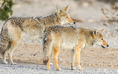 Coyotes (Canis latrans) in the desert morning. Panamint Springs, Death Valley National Park, California and Nevada, USA Фото со стока
