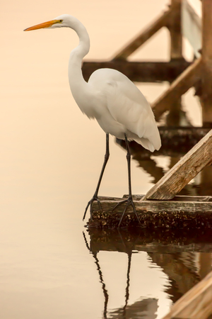 immobile: Great Egret (Ardea alba) also known as Common Egret, Large Egret or Great White Heron.