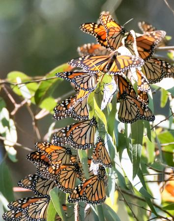 plexippus: Monarchs (Danaus plexippus) cluster in the eucalyptus trees at the Natural Bridges State Park in Santa Cruz, California.