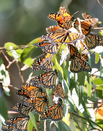 eucalyptus trees: Monarchs (Danaus plexippus) cluster in the eucalyptus trees at the Natural Bridges State Park in Santa Cruz, California.
