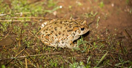 California Toad - Anaxyrus boreas halophilus, Santa Clara County, California