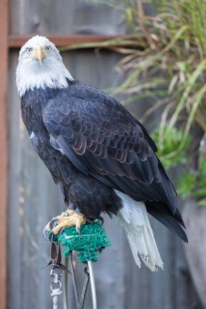 American Bald Eagle - Haliaeetus leucocephalus, Adult Female