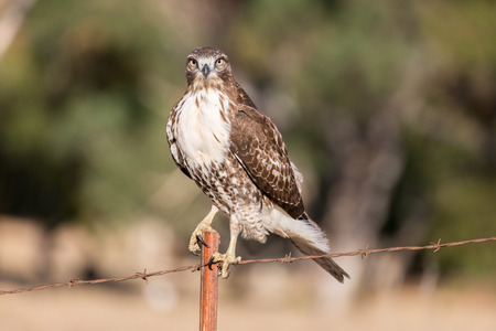 Red-tailed Hawk (Buteo jamaicensis) juvenile perched on a wire fence. Ed R. Levin County Park, Milpitas, California, USA. Stock Photo