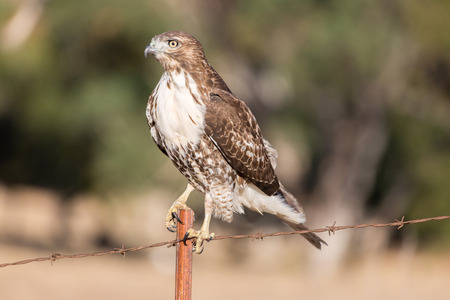 wire fence: Red-tailed Hawk (Buteo jamaicensis) juvenile perched on a wire fence. Ed R. Levin County Park, Milpitas, California, USA. Stock Photo
