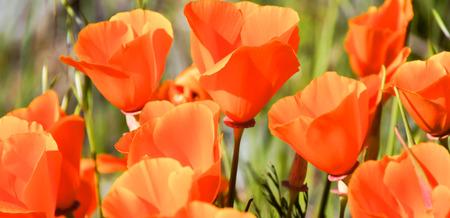 californian: California Poppy - Eschscholzia californica, Santa Clara County, California, USA