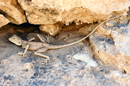 judaean desert: Desert (Pale) Agama - Trapelus  mutabilis, Judaean Desert, Israel. Sandy grey Desert Agama camouflaged in Azgad Canyon and Ashalim river of Dead Sea Valley in Israel.