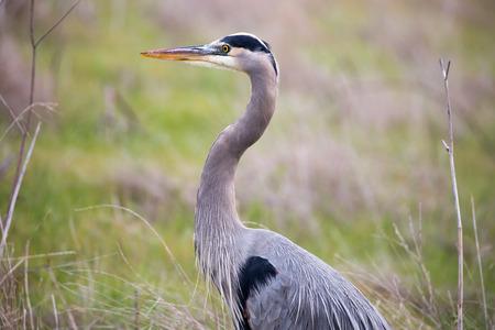 herodias: Great Blue Heron - Ardea Herodias headshot in the grasslands Stock Photo