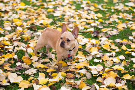 familiaris: French Bulldog - Canis lupus familiaris, Mature Puppy in Foliage Background Stock Photo