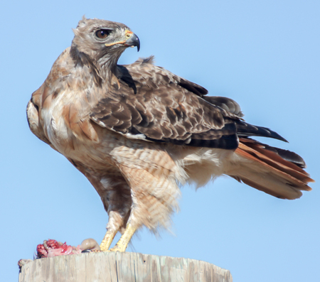 Red-tailed Hawk (Buteo jamaicensis) eating a rodent. Palo Alto, California, July 2013.