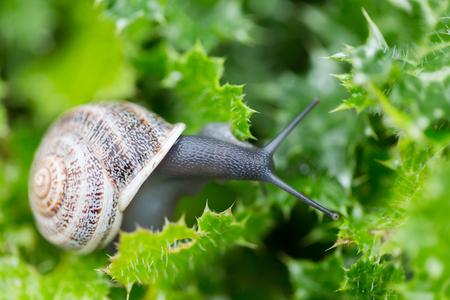 Garden Snail (Helix aspersa) on Green Leaves Stock fotó - 68852344
