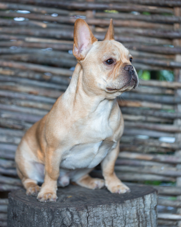 irresistible: French Bulldog - Canis lupus familiaris, 6 months old, Portrait