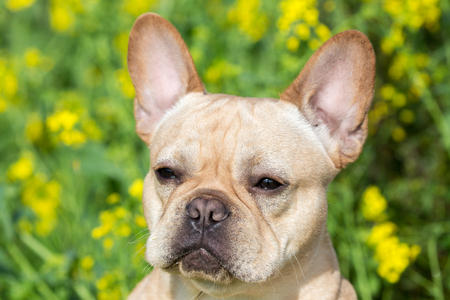 Young French Bulldog Headshot. Young Frenchie with Field Mustard Background. Stock Photo