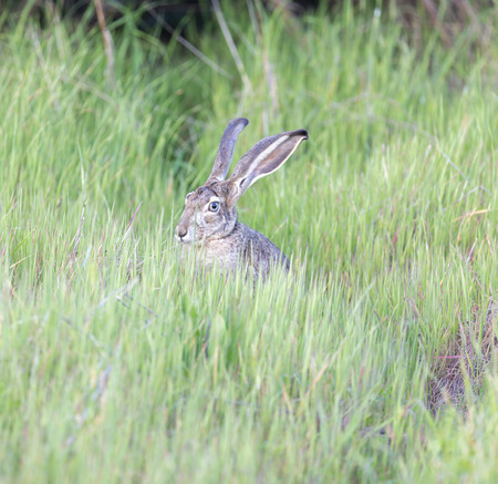 Black-tailed Jackrabbit (Lepus californicus) Hiding in Green Grass