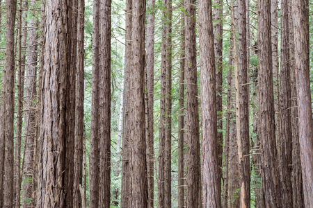 mill valley: Redwood trees in Muir Woods National Monument, Mill Valley, California, USA Stock Photo