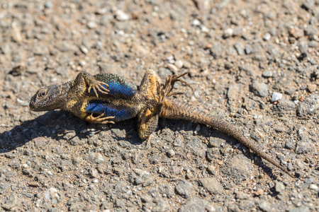 underbelly: Western Fence Lizard (Sceloporus occidentalis) playing dead. Adult Male actor after got caught and turned loose. Santa Clara County, California, USA.