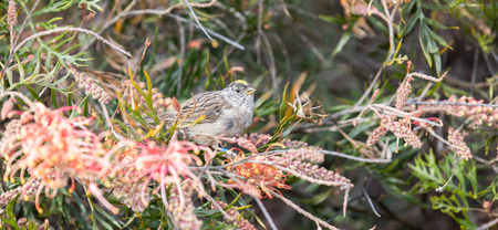 monitored: Golden-crowned Sparrow - Zonotrichia atricapilla Stock Photo