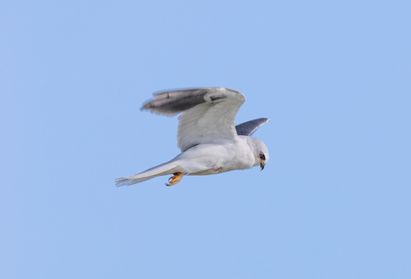 White-tailed Kite - Elanus leucurus, Adult. Bird hovering in search of rodents. Santa Clara County, California, USA. Stock Photo