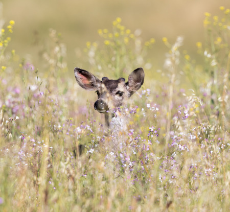 mule deer: Black-tailed Deer (Odocoileus hemionus) peeking through Spring flowers. Adult Female sighted at Coyote Valley Open Space Preserve, Santa Clara County, California, USA.