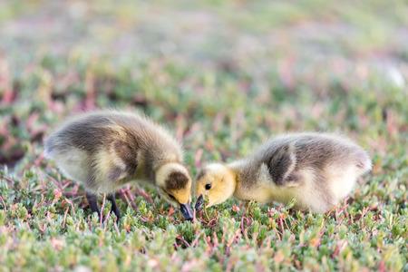 Canada Goslings  (Branta Canadensis) Eating Grass. Santa Clara County, California, USA.