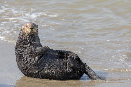 Alert Sea Otter in Moss Landing State Beach. Monterey Bay, Californië, VS. Stockfoto