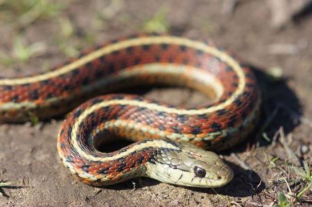 Alert Coast Garter snake (Thamnophis elegans terrestris). San Mateo County, California, USA.