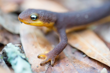 newt: Rough-skinned Newt (Taricha granulosa) crawling on leaves. San Mateo County, California, USA. Stock Photo