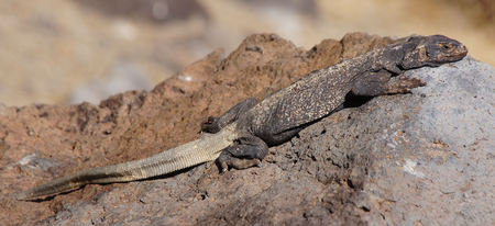 Common Chuckwalla (Sauromalus ater) camouflaged on a rock. Fossil Falls, Inyo County, California, USA. Stock Photo