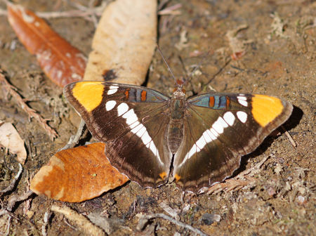 California Sister(Adelpha californica) perched on the ground. Santa Cruz County, California, USA.