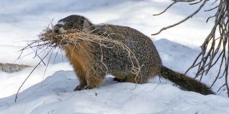 노란색 배 불 뚝이 Marmot-Marmota flaviventris. 마 모트는 나뭇 가지를 들고 따뜻함과 편안함을위한 굴을 선 다. Desolation Wilderness, 엘도라도 카운티, 캘리포니