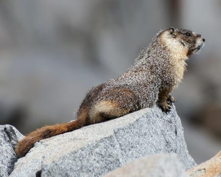 sierra nevada: Yellow-bellied Marmot - Marmota flaviventris. Marmot covered with snowflakes perched on a rock. Desolation Wilderness, El Dorado County, California, USA.