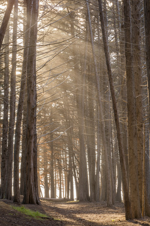 Sunrays In The Cypress Grove. Fitzgerald Marine Reserve, San Mateo County, California, USA.