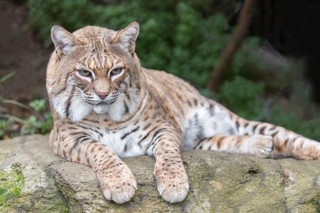 Bobcat (Lynx rufus californicus) sitting on a rock and posing. Santa Clara County, California, USA.