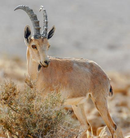 Nubian Ibex, Capra nubiana. A desert-dwelling goat in the Judaean Desert of Israel.