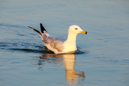 California Gull (Larus californicus) Wading in the Golden Hours. Shoreline Lake, Santa Clara County, California, USA.