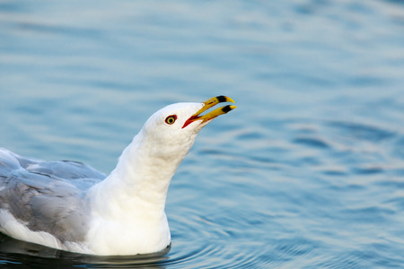 California Gull (Larus californicus) Calling. Shoreline Lake, Santa Clara County, California, USA.