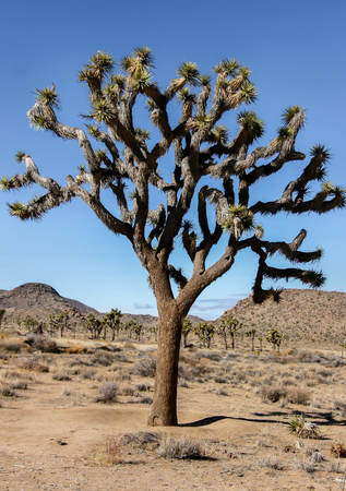 Joshua Tree - Yucca brevifolia. Joshua Tree National Park, California, USA. Stock Photo