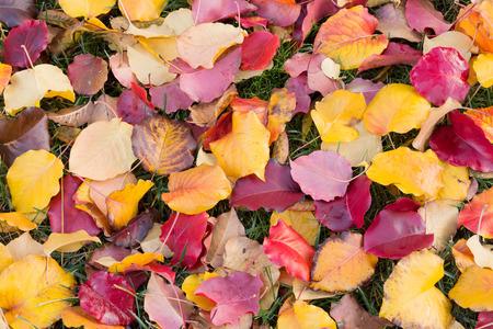 Pear tree leaves. Autumn foliage in Santa Clara County, California, USA.
