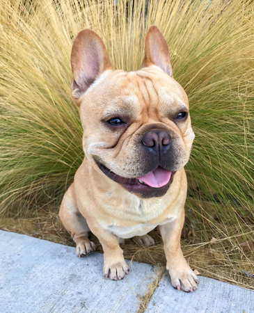 Young Tan French Bulldog Portrait. Frenchie Male sitting in front of Mexican feathergrass.