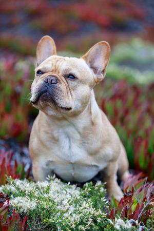 Tan French Bulldog Male Portrait. Frenchie Sitting on Ice Plant in Northern California Coastline. Stock Photo