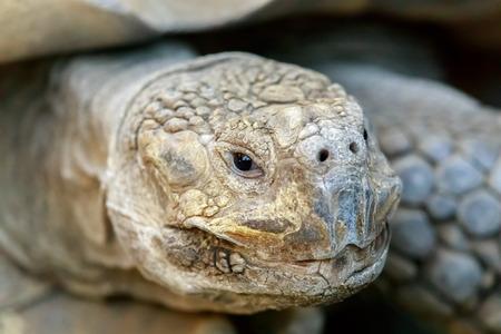 African Spurred Tortoise (Centrochelys sulcata) head shot. Santa Clara County, California, USA. 版權商用圖片