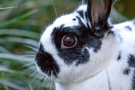 European Domestic Rabbit (Oryctolagus cuniculus domesticus) closeup. Santa Clara County, California, USA.