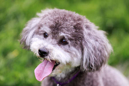 Schnoodle head shot. Schnoodle dog is a cross between a schnauzer and a poodle.
