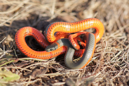 Monterey Ring-necked snake in a defensive posture. Big Sur, California, USA. Stock Photo