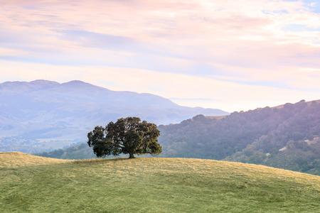 Lone Oak Tree in Bay Area Landscape. Pleasanton Ridge Regional Park, Alameda County, California, USA.