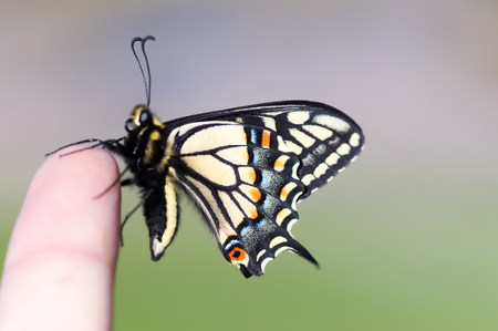 Life at your Fingertips. Anise Swallowtail Butterfly resting on a human finger. Stock Photo