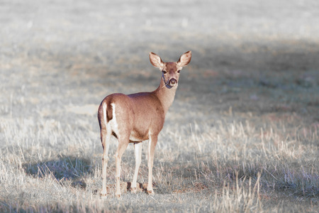 Cautious Black-tailed Deer Looking Back. Santa Clara County, California, USA. Stock Photo