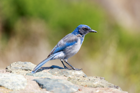 California Scrub-Jay (Aphelocoma californica) Adult perched on a rock. Big Sur, Monterey County, California, USA. Stock Photo