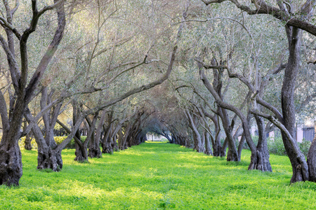 Olive Grove Tranquility. Carmelite Monastery of San Francisco - Carmel of the Infant Jesus. Santa Clara, Santa Clara County, California, USA. Stok Fotoğraf - 93310975