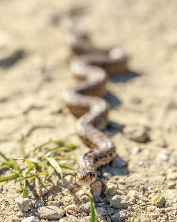 Pacific Gopher Snake (Pituophis catenifer catenifer) slithering across a hiking trail. Alameda County, California, USA. Stock Photo